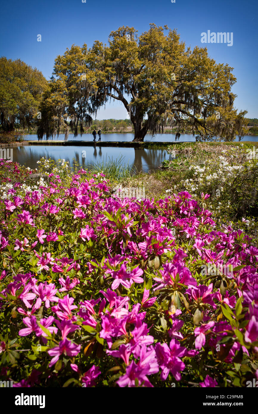 Azaleas and live oak tree at Middleton Place Plantation in Charleston, SC the oldest formal garden in the USA - Stock Image