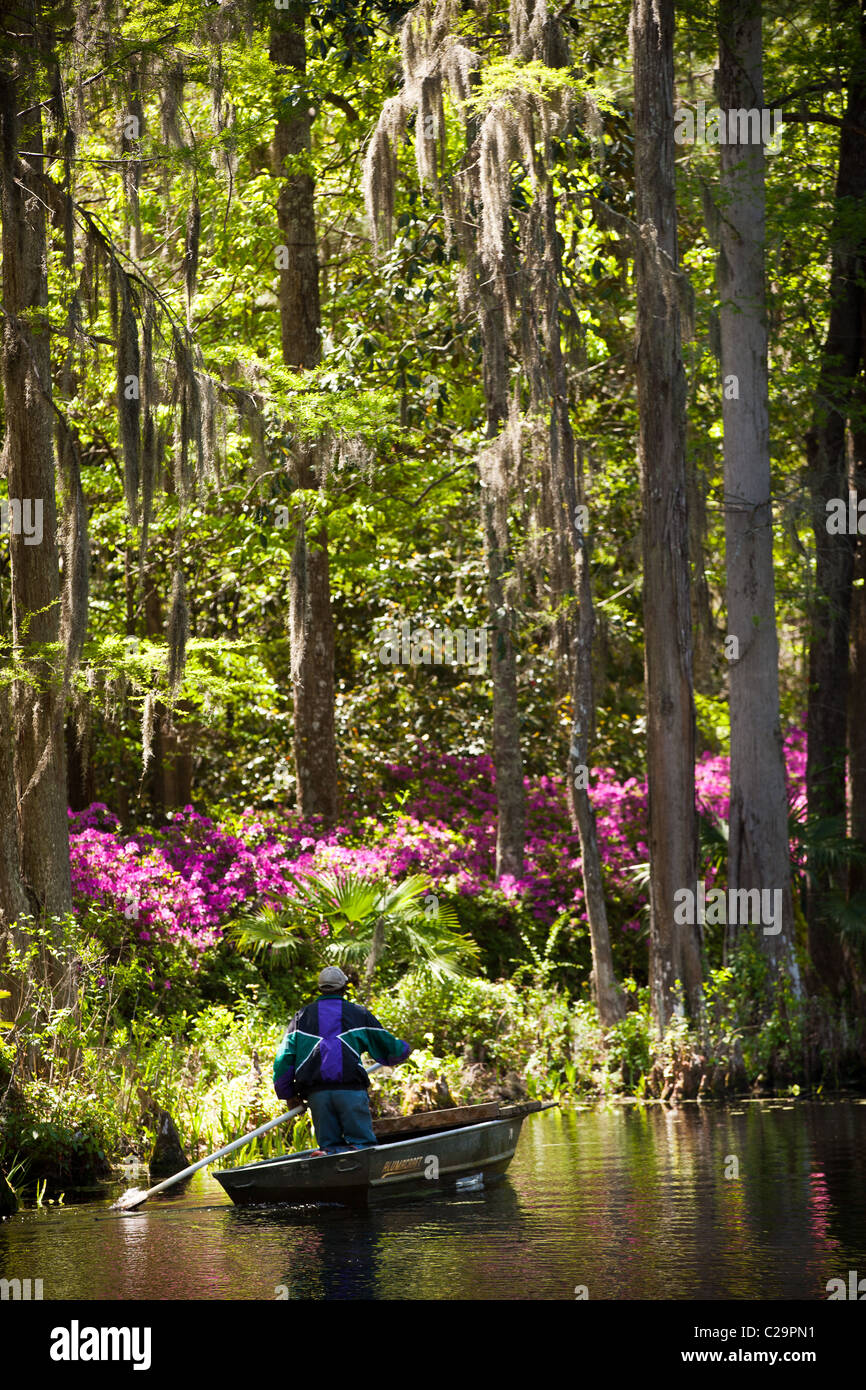 Azaleas blooming in the swamp at Middleton Place Plantation in Charleston, SC the oldest formal garden in the USA - Stock Image