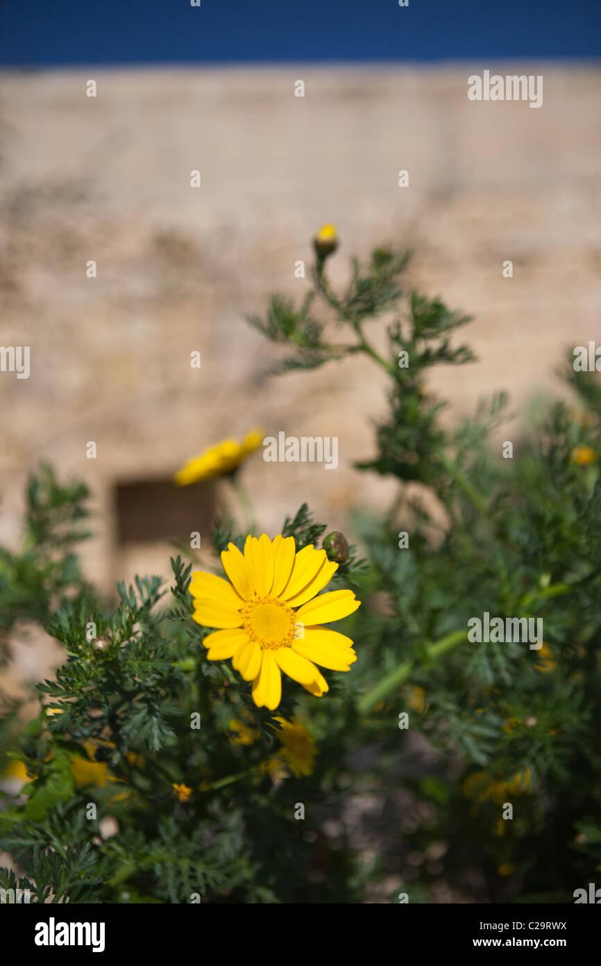 Mediterranean Wild Yellow Flower Stock Photos Mediterranean Wild