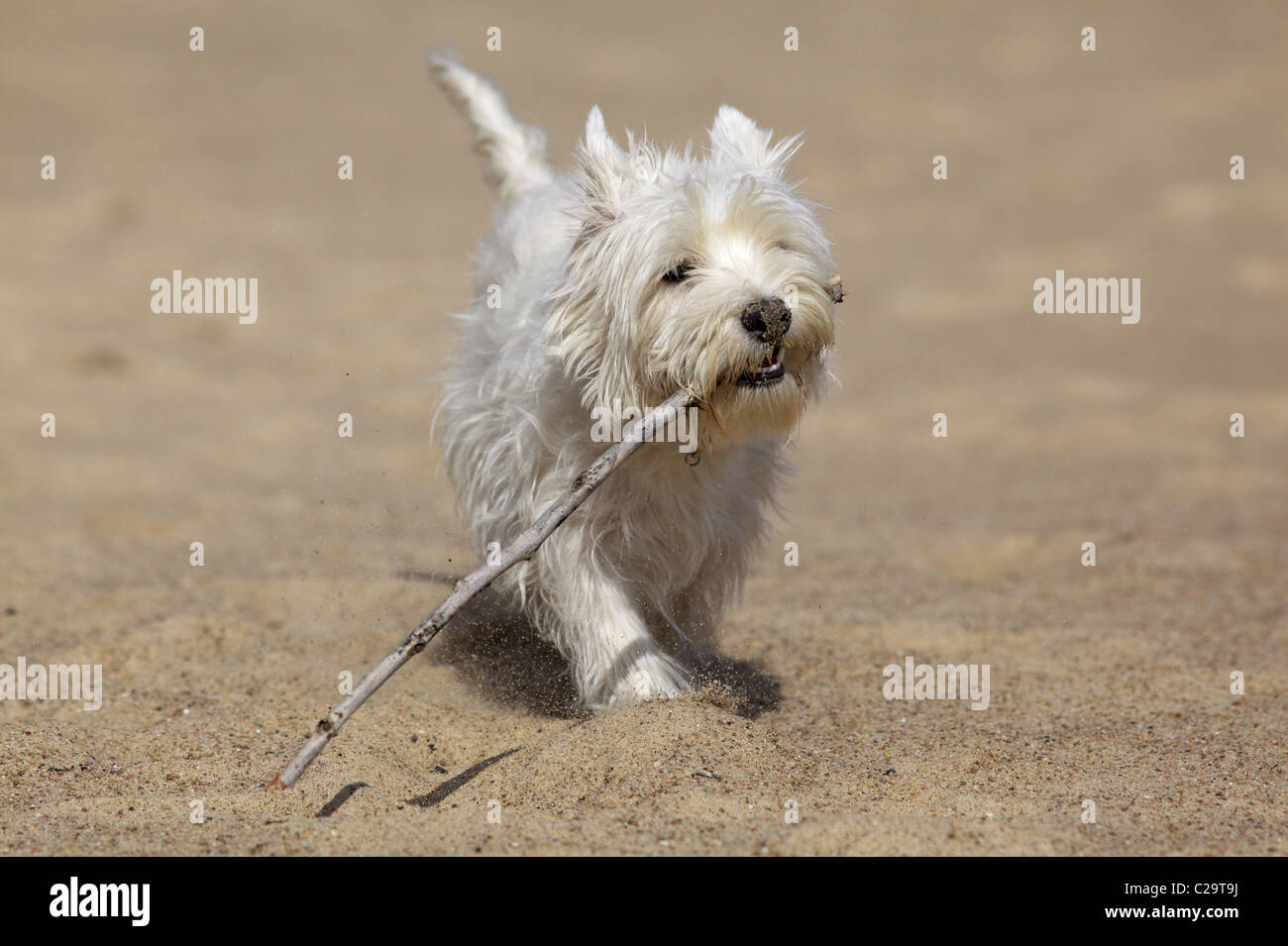 Young, white dog on the beach - Stock Image