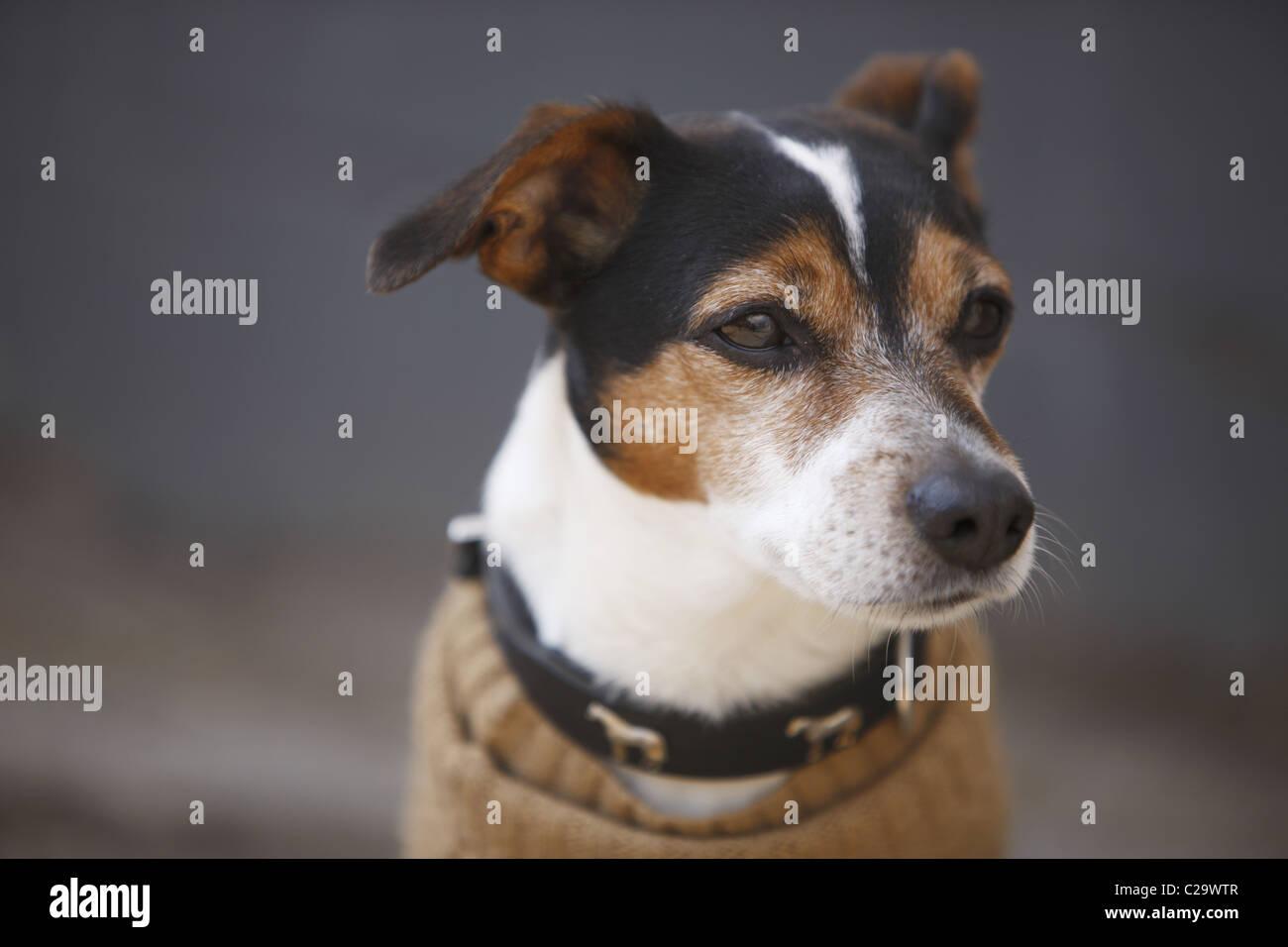 DEU, 20110325,Dog with a waistcoast - Stock Image