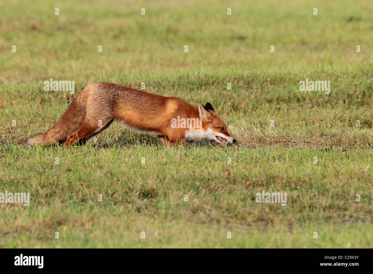 Fox with mouse - Stock Image