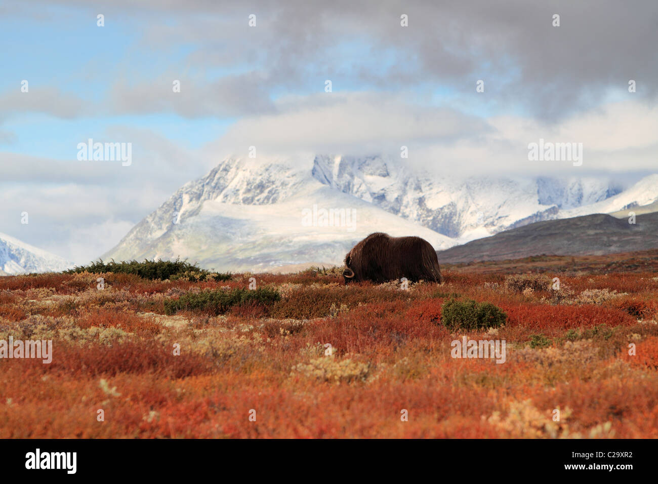Musk oxen Dovre Norway NP Stock Photo
