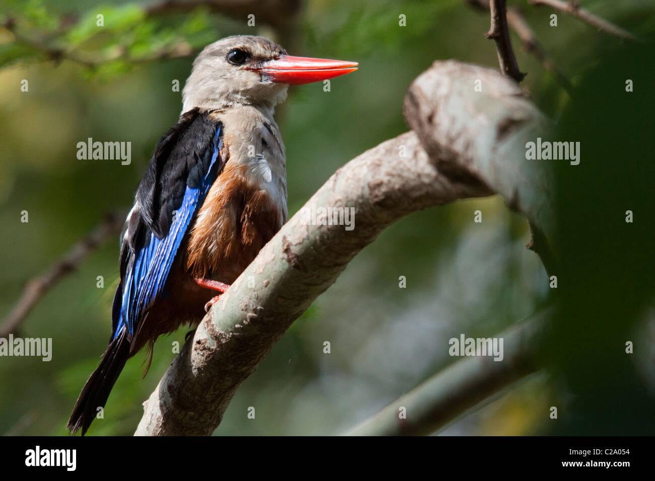 Grey-headed Kingfisher (Halcyon leucocephala), Kenya, Africa - Stock Image