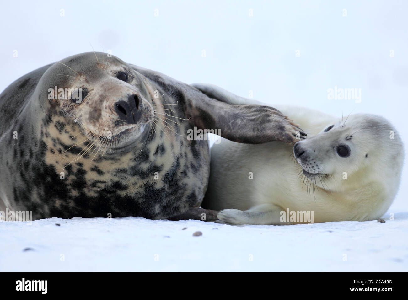 gray seal with pup - Stock Image