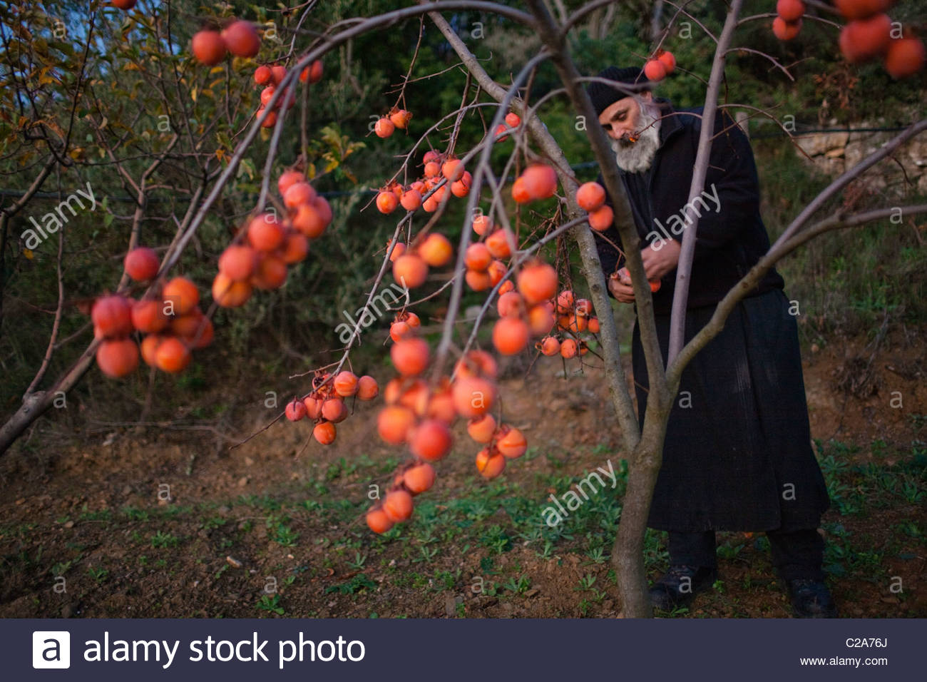An Eastern Orthodox Christian monk picks persimmons at dusk. - Stock Image