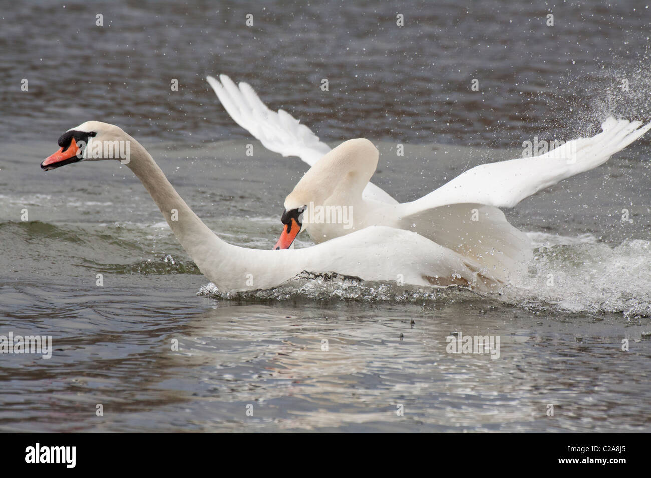 Mute swans in territorial dispute on lagoon-Victoria, British Columbia, Canada. - Stock Image