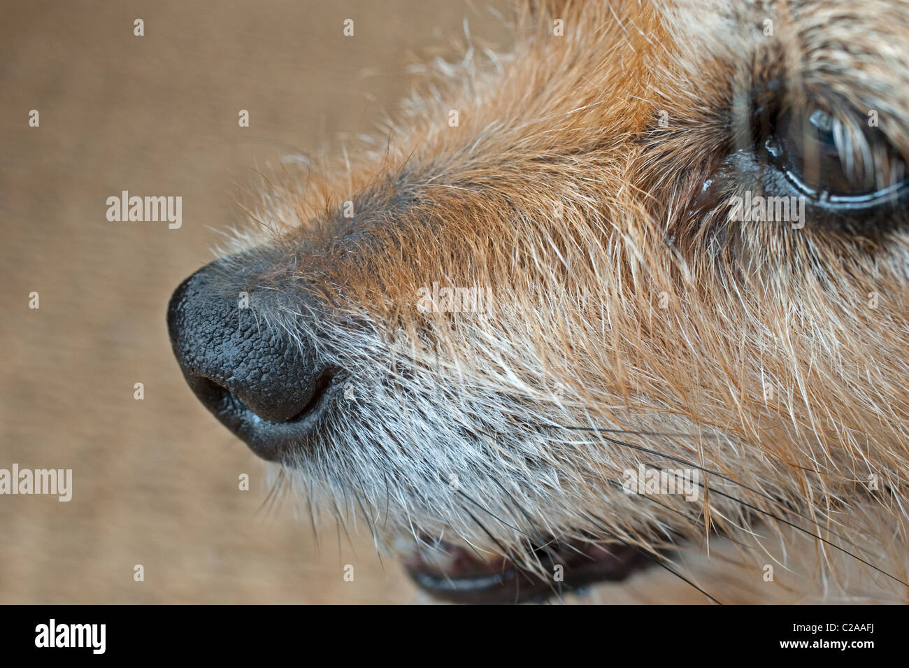 The nose of a dog is arguably it's most important and sensitive sensory organ - Stock Image