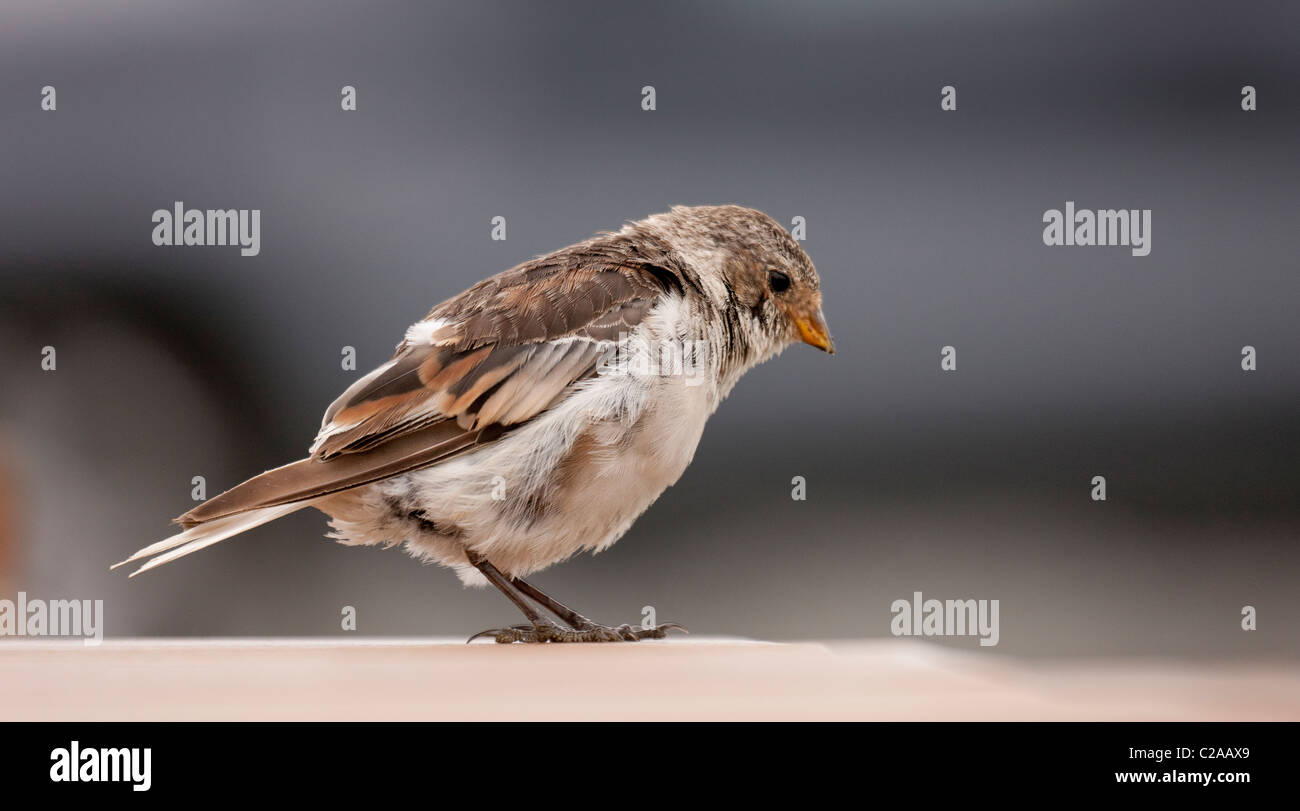 Portrait of Snow Bunting, aka Snowflake - Stock Image