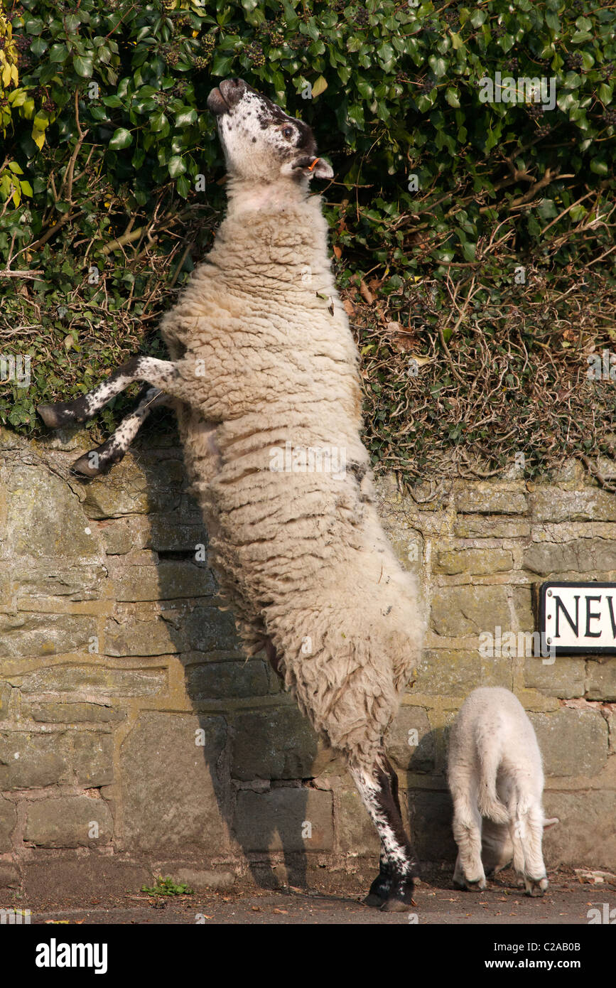 Ewe standing on hind legs to reach ivy above a garden wall while her lamb waits on the pavement - Stock Image
