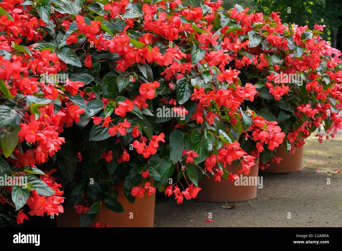 Begonias Begonia Flower Tub Stock Photos & Begonias Begonia Flower ...
