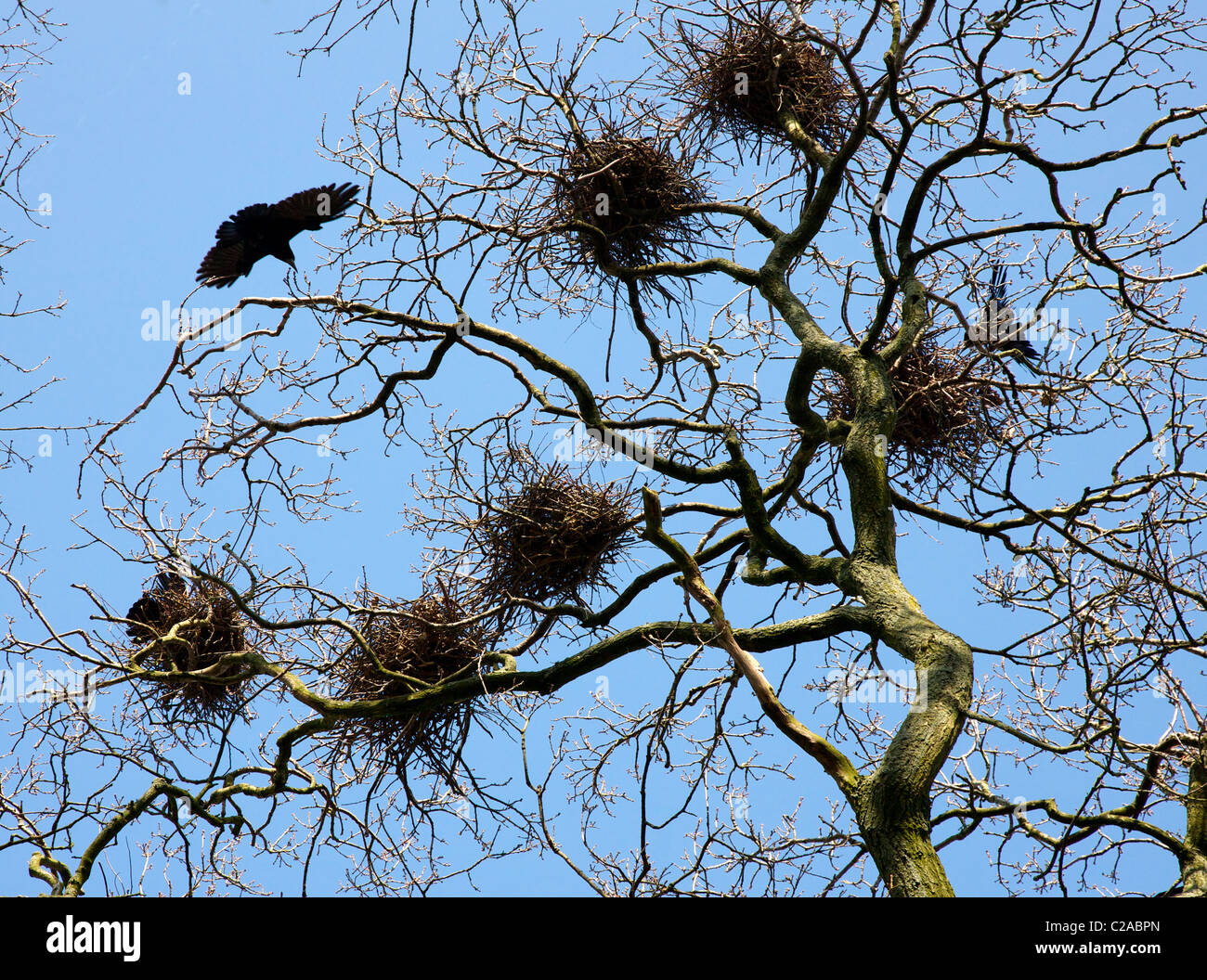 Rook Corvus frugilegus nests and adult bird in a rookery at Slimbridge in Gloucestershire - Stock Image