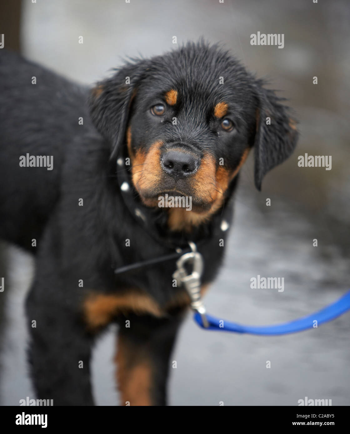 Rottweiler Puppy Stock Photos Rottweiler Puppy Stock Images Alamy