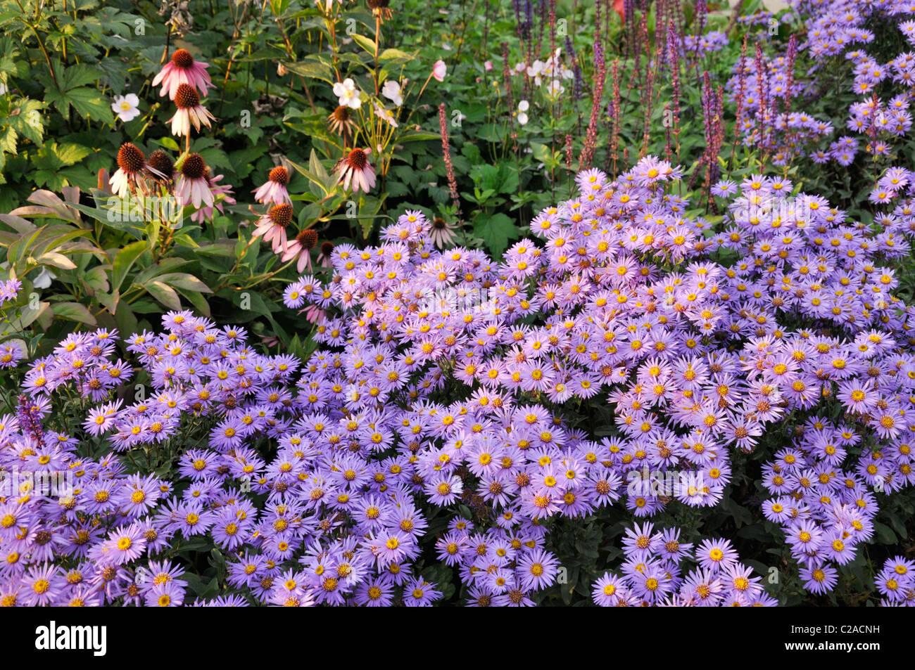 Italian aster (Aster amellus 'Glücksfund') and purple cone flower (Echinacea purpurea) - Stock Image