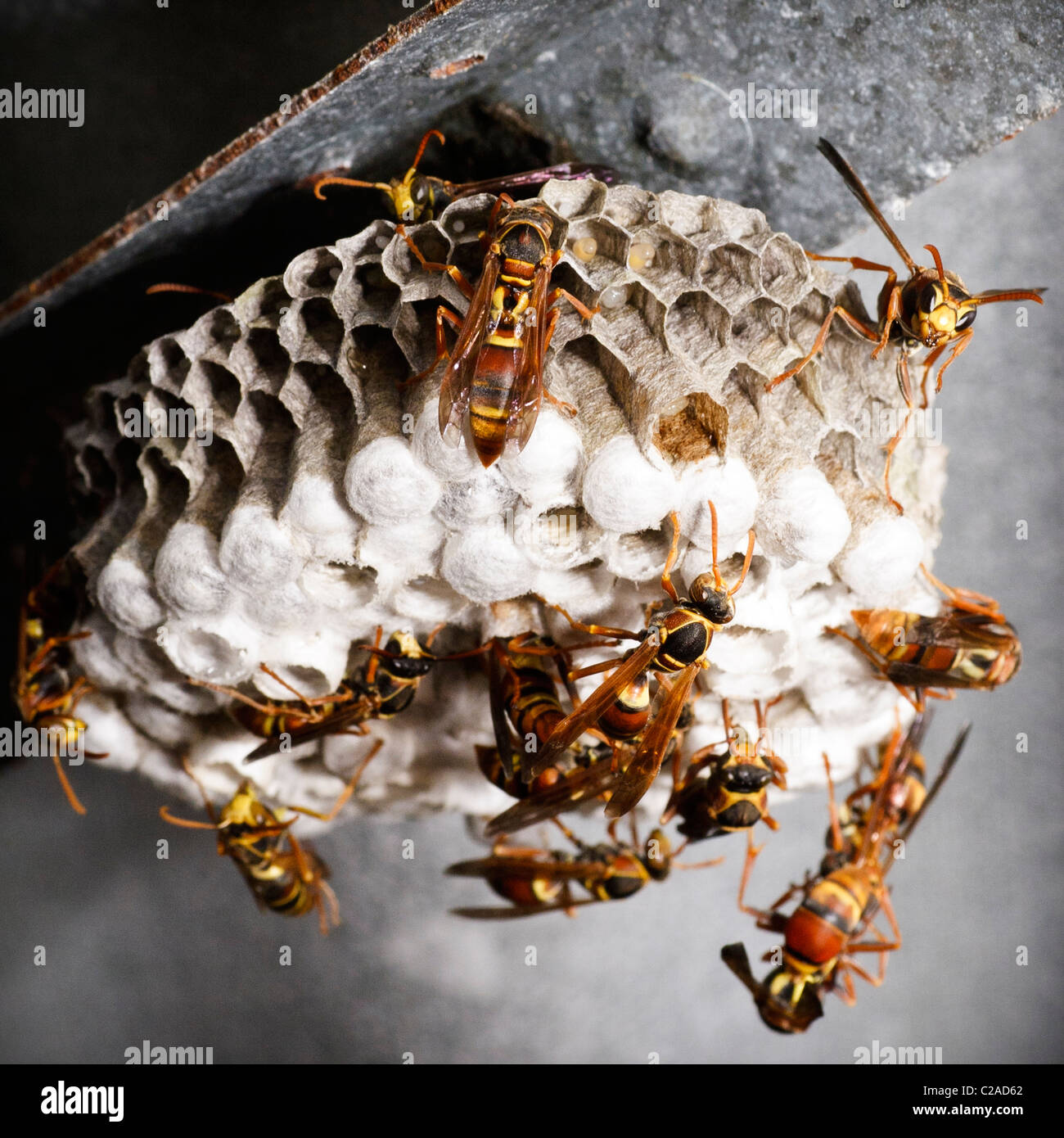 Paper Wasp Australia Stock Photos & Paper Wasp Australia ...