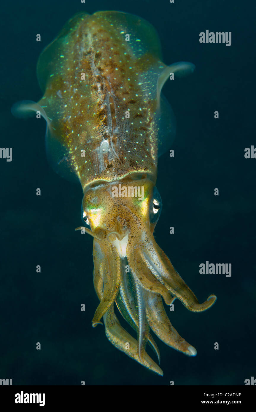 Cuttlefish are small fast moving colour changing invertebrates that are easily missed by inatentive divers. - Stock Image