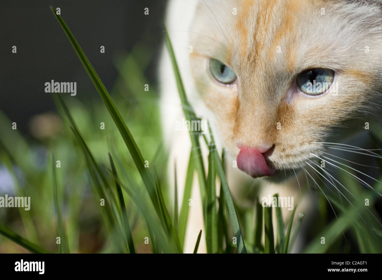 Closeup of white cat in grass, looking predatory and licking nose. - Stock Image