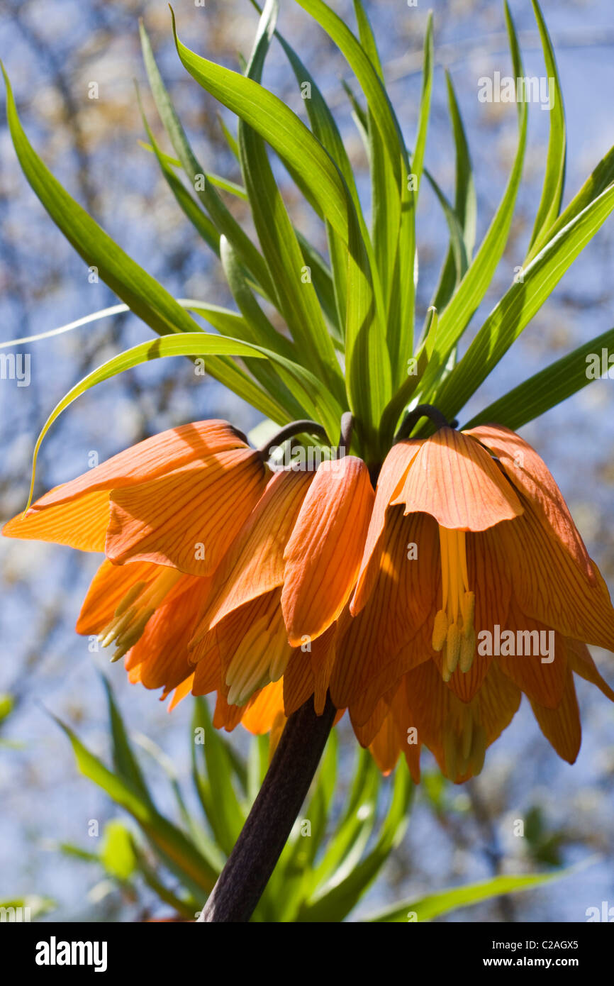 Fritillaria Imperialis Crown Imperial Flower In Full Bloom Stock