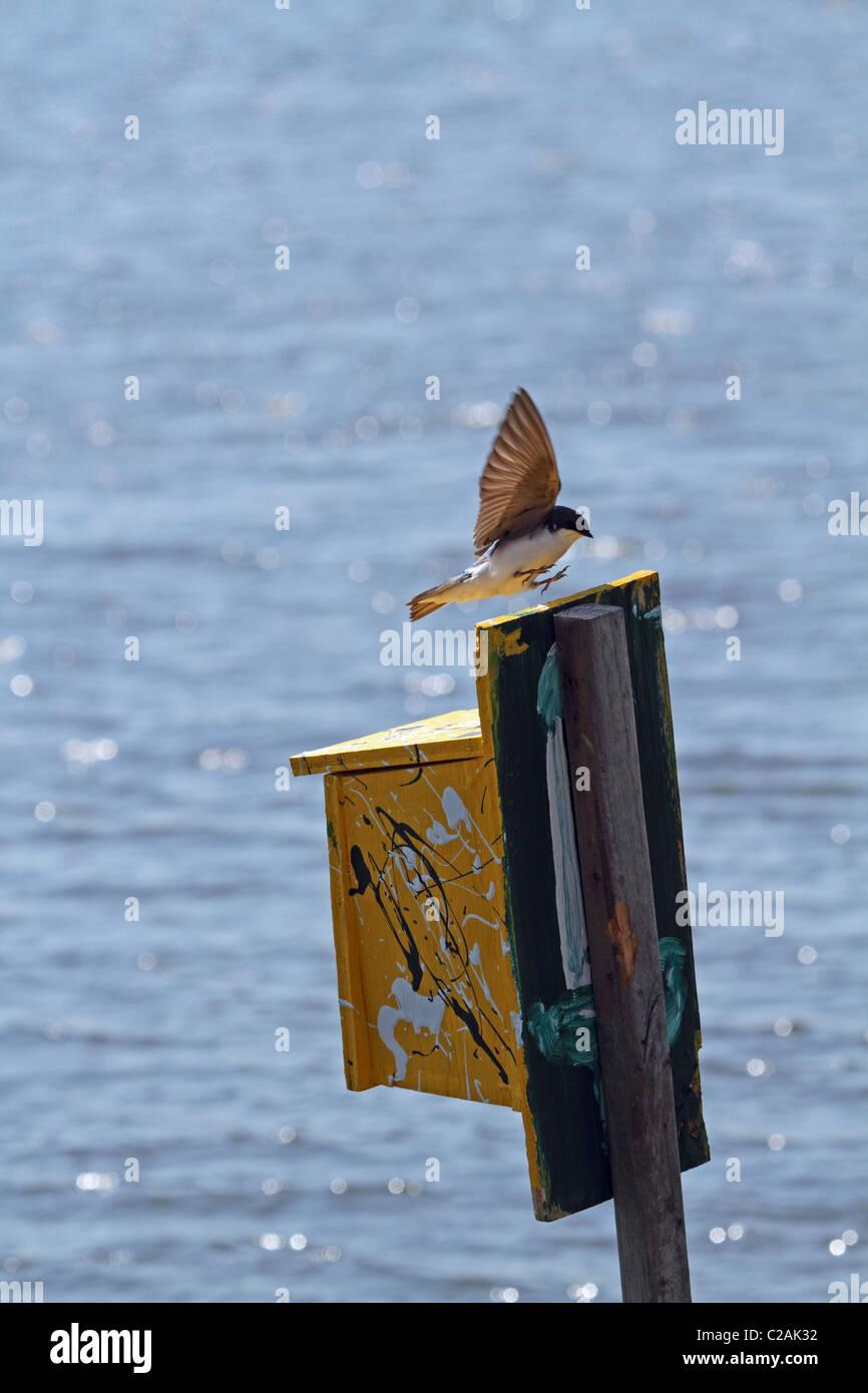 A Tree Swallow, Tachycineta Bicolor, landing at its nesting box. Stock Photo
