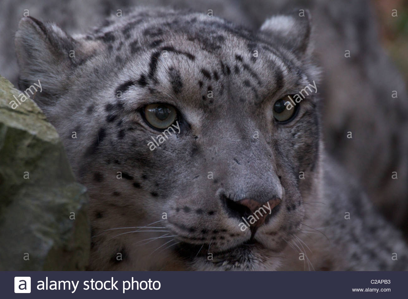 Close portrait of an endangered captive snow leopard, Panthera uncia. - Stock Image