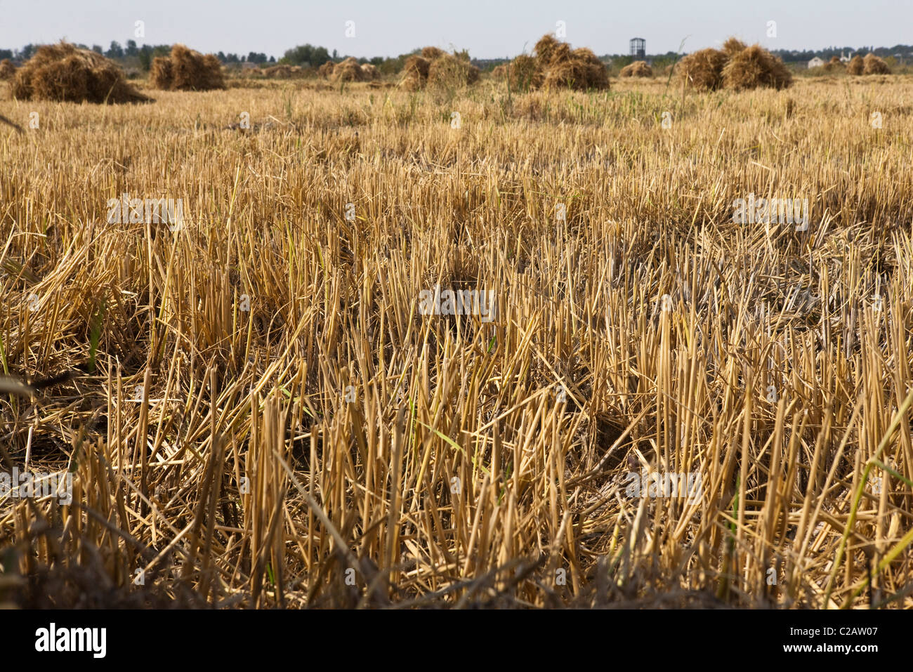 Harvested wheatfield - Stock Image