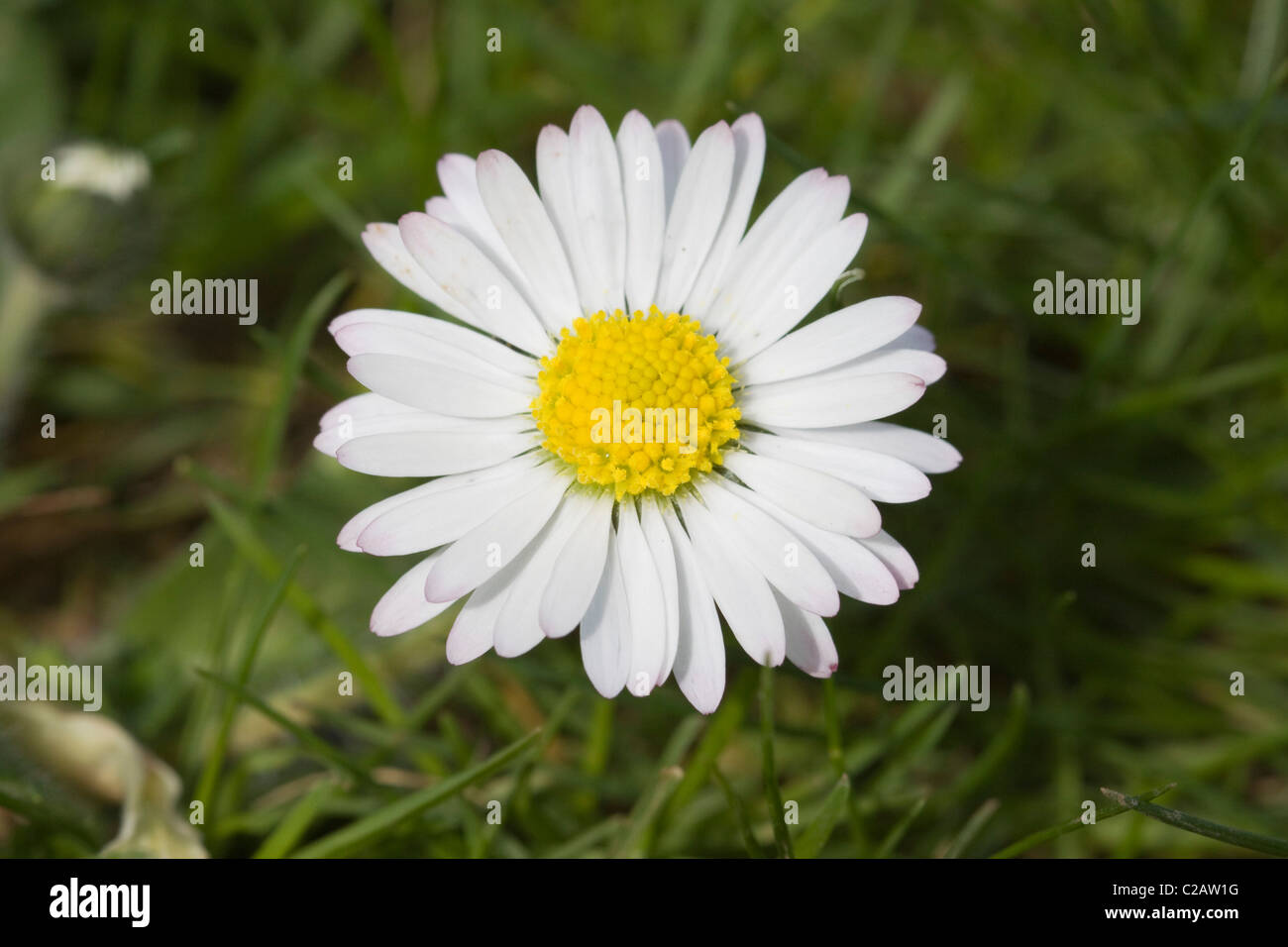 A Daisy in a local meadow - Stock Image