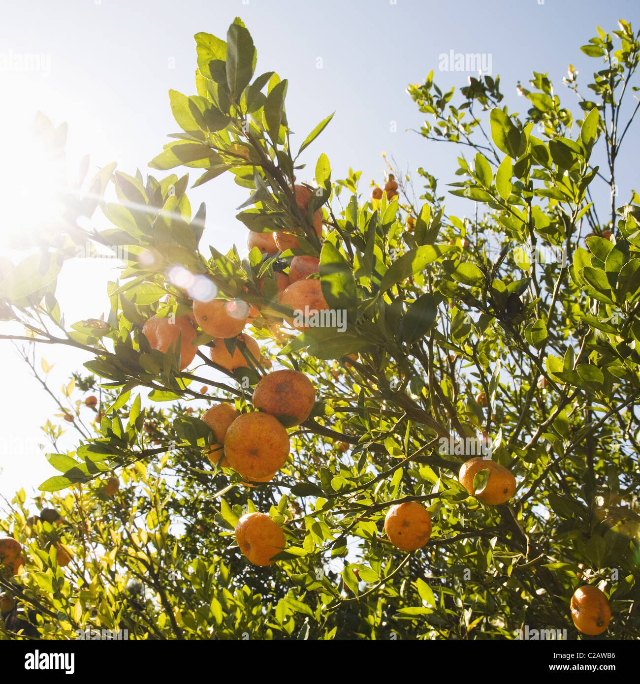 Ripe oranges on tree Stock Photo