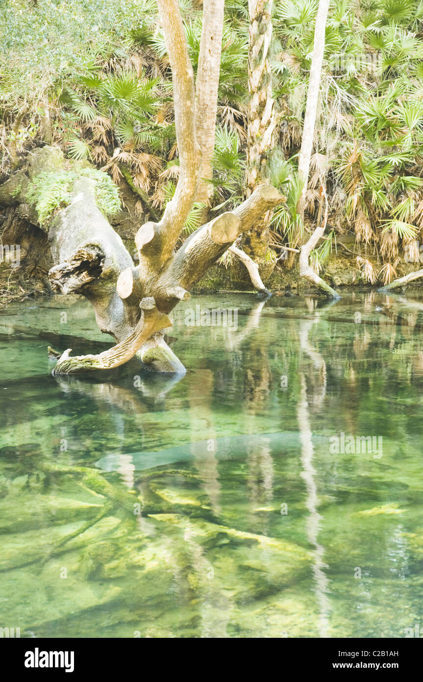 Manatee swimming in Blue Spring State Park, Florida, USA - Stock Image