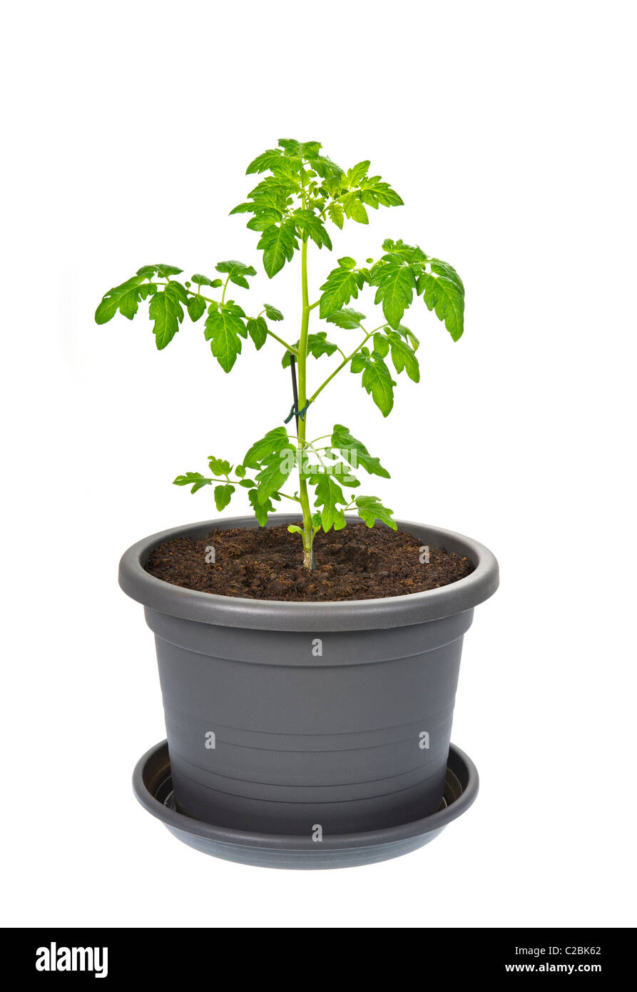tomato plant flowerpot flower pot plastic container earth soil grow growing green ecologically ecological eco clay - Stock Image