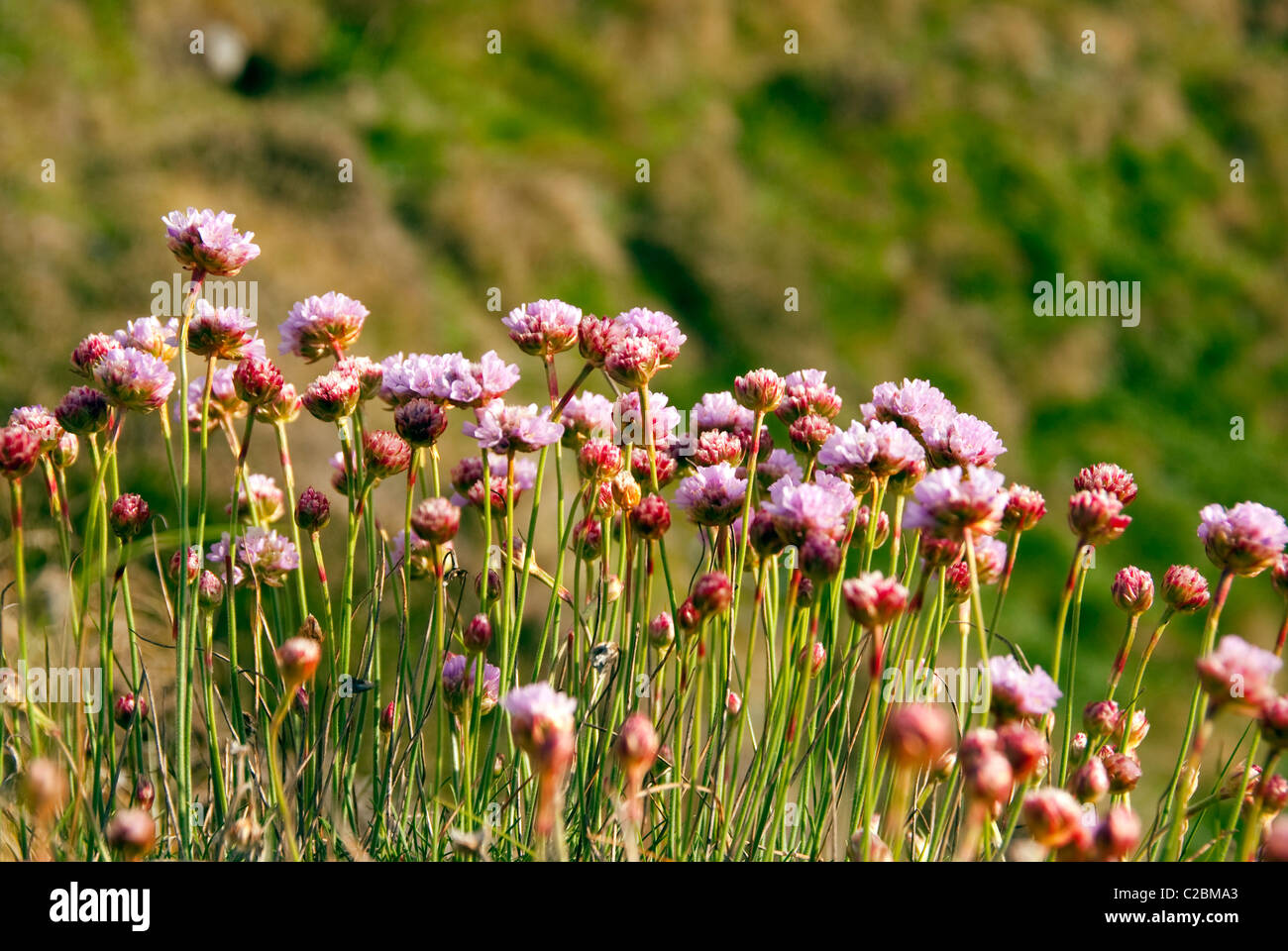 Armeria Maritima - Sea Pink or Thrift - Closeup on a bunch of wild pink flowers on blurred background during sunset - Stock Image