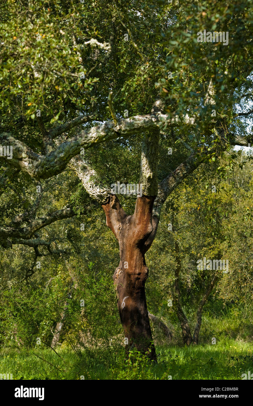 Cork trees marked with the year of last bark stripping, Alentejo region of Portugal - Stock Image