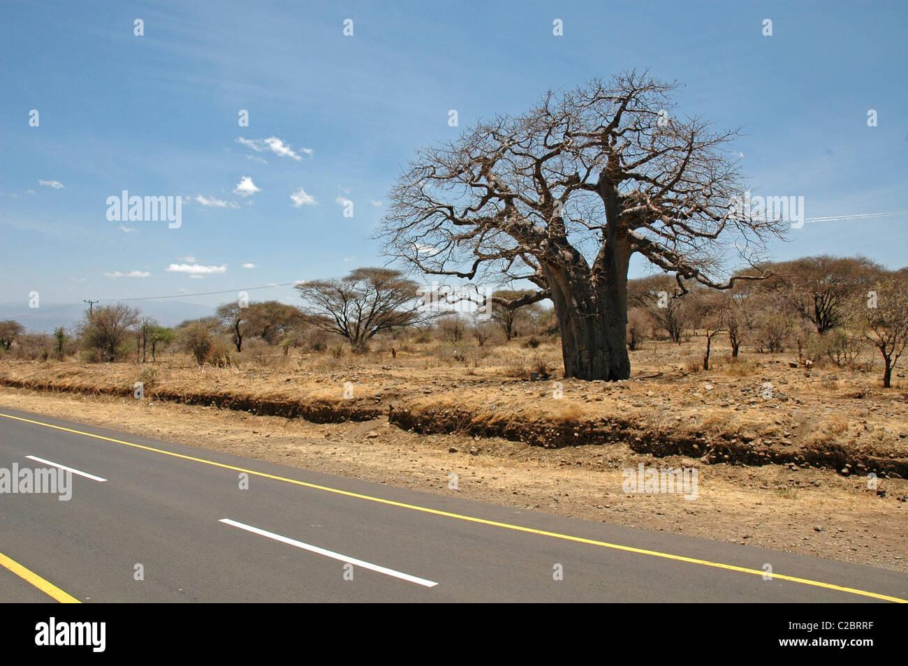 Baobab (Adansonia digitata),kenya,africa - Stock Image