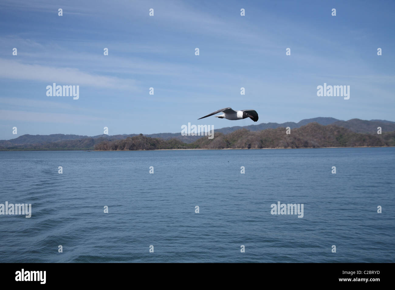 Laughing gull soaring next to a ferry heading to Puntarenas, Costa Rica. - Stock Image