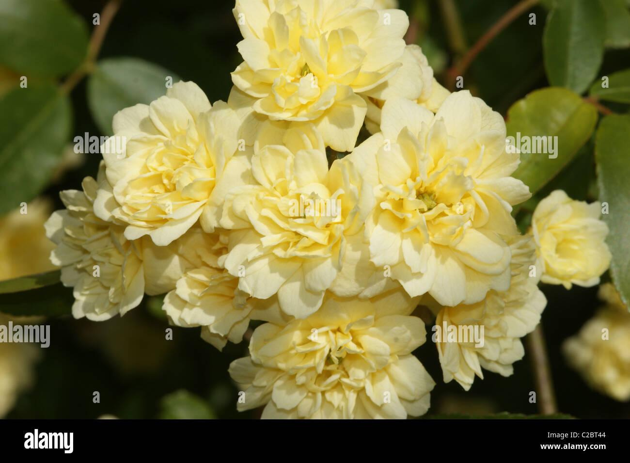 Rosa banksiae 'Lutea' - Stock Image