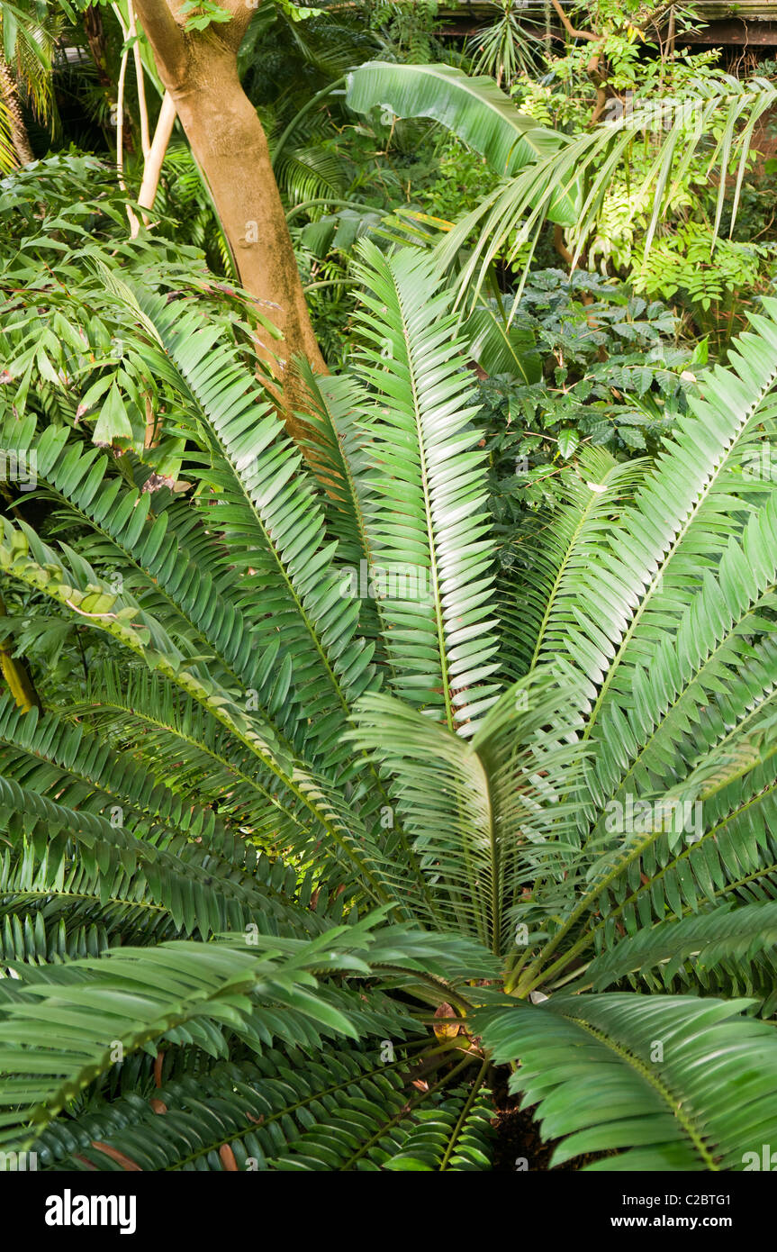 Dense jungle foliage in indoor rainforest at Tropical Ravine, Botanic Gardens, Belfast - Stock Image