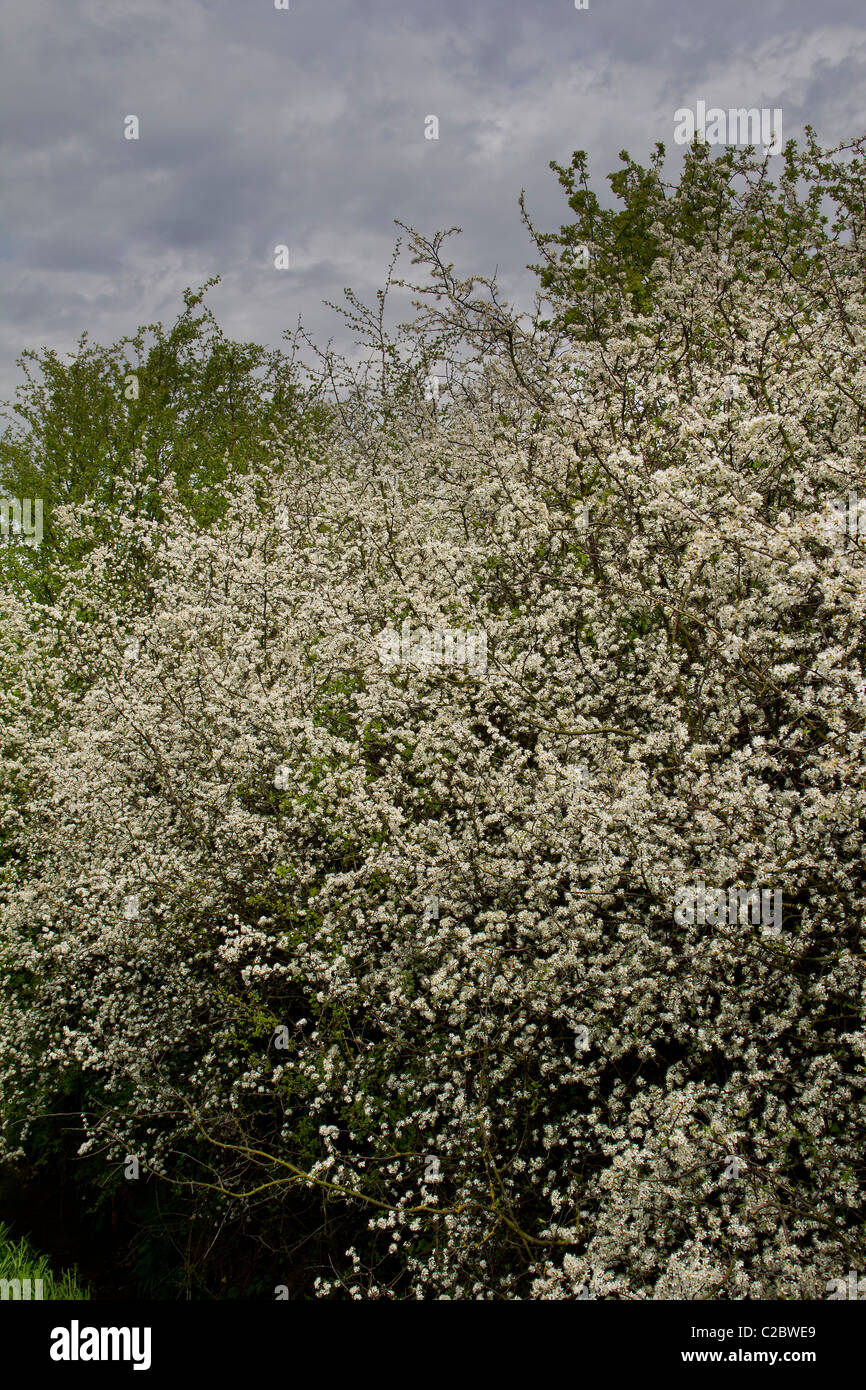 Easily confused with the hawthorn tree the blackthorn tree in full blossom - Stock Image