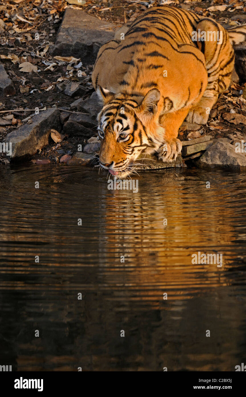 Tiger drinking from a water hole in Ranthambhore national park, India - Stock Image