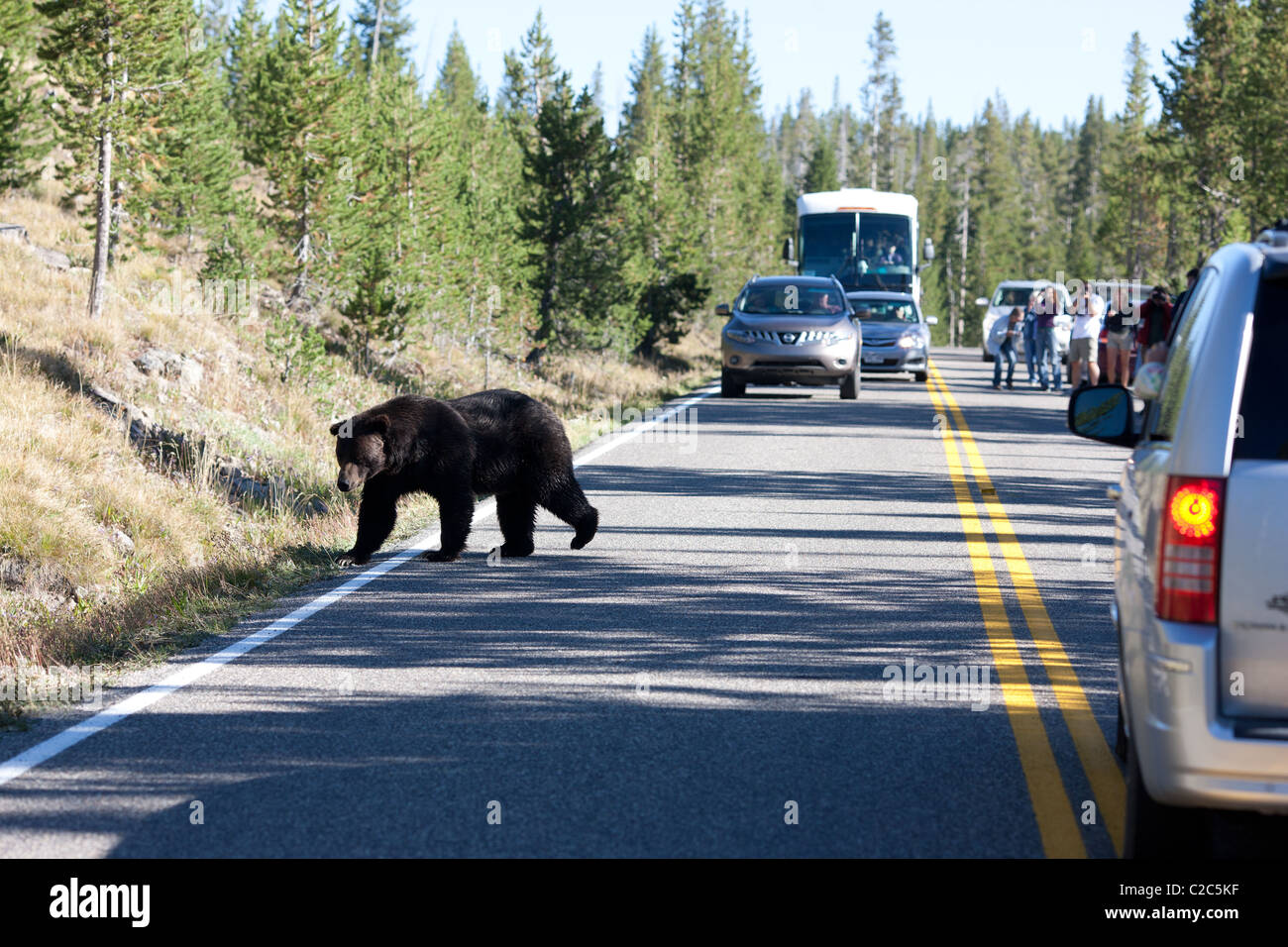 BEWARE OF THE BEAR. A Grizzly bear has created a traffic jam in Yellowstone National Park, Wyoming, USA. - Stock Image