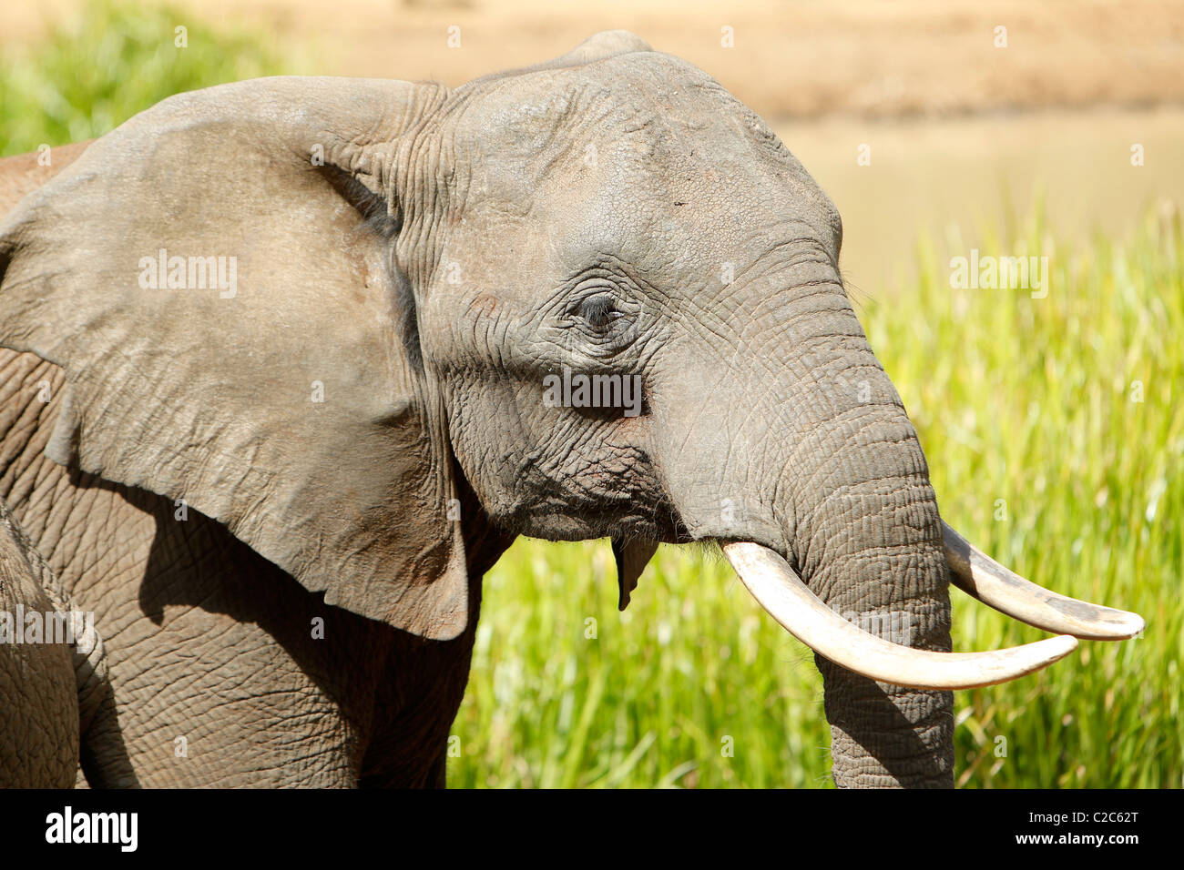 An African Elephant at a watering hole in Kenya Stock Photo