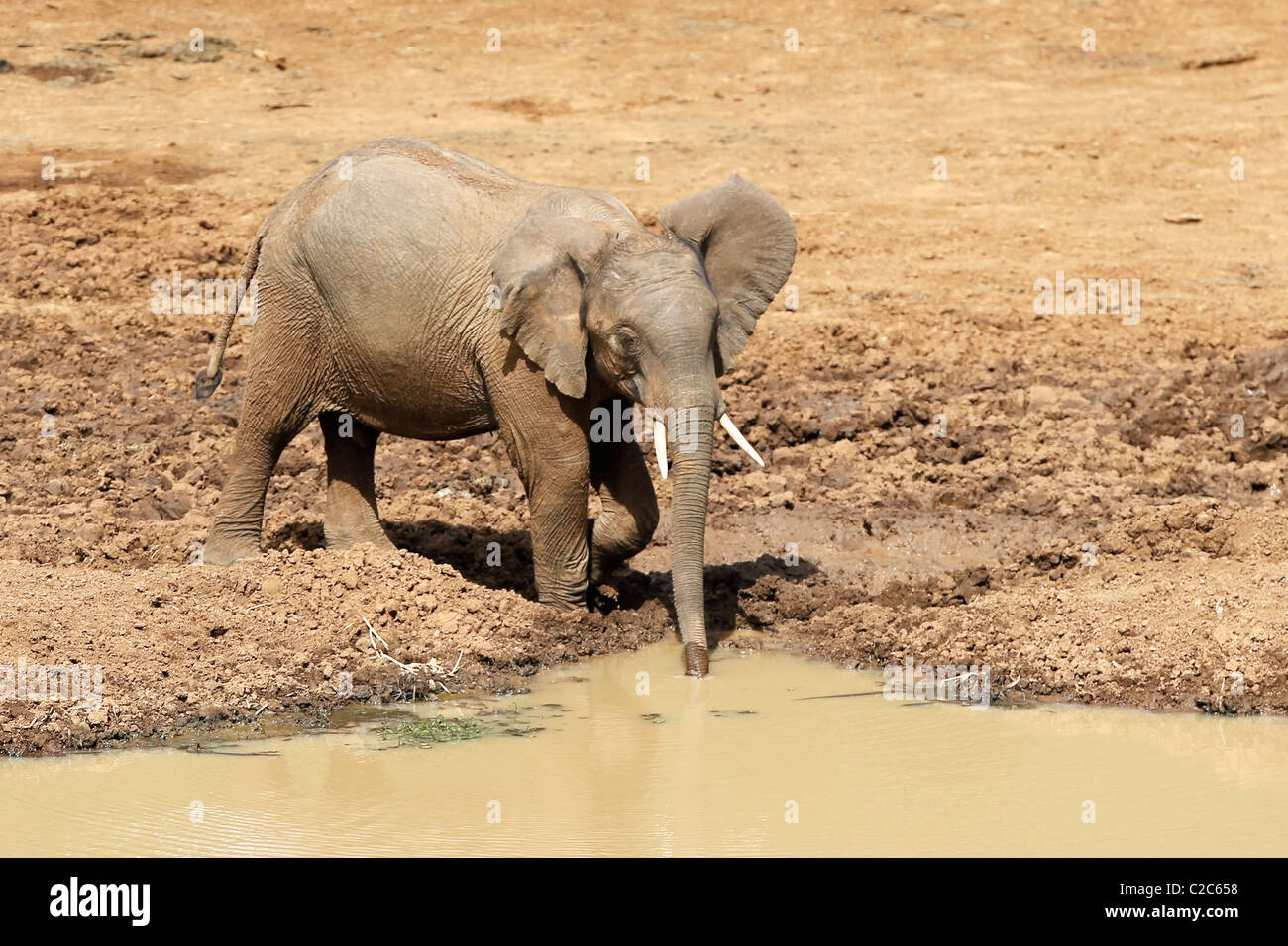 An African Elephant at a watering hole in Kenya - Stock Image