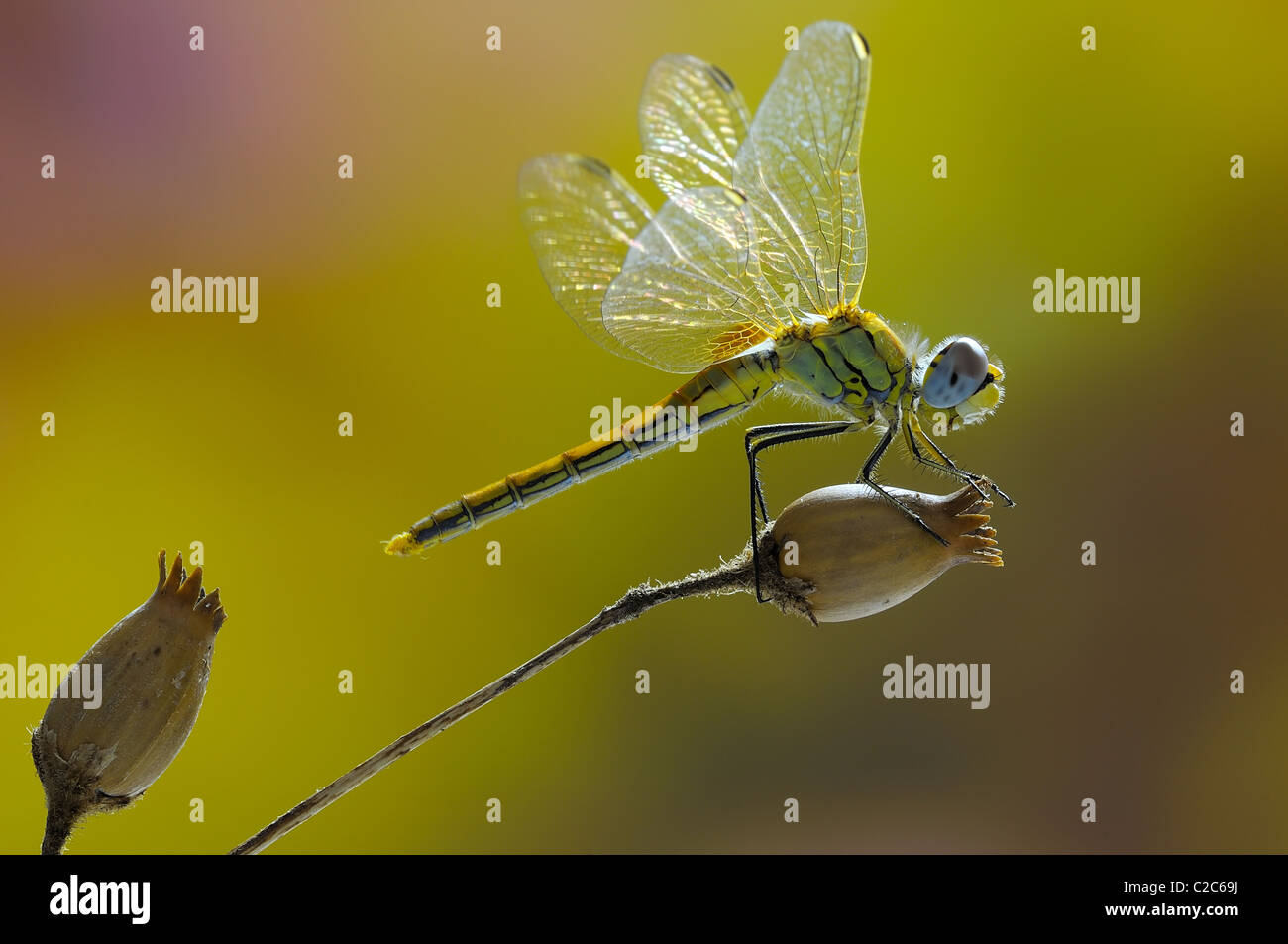 Dragonfly (sympetrum fonscolombii) placed on stem dry selene - Stock Image
