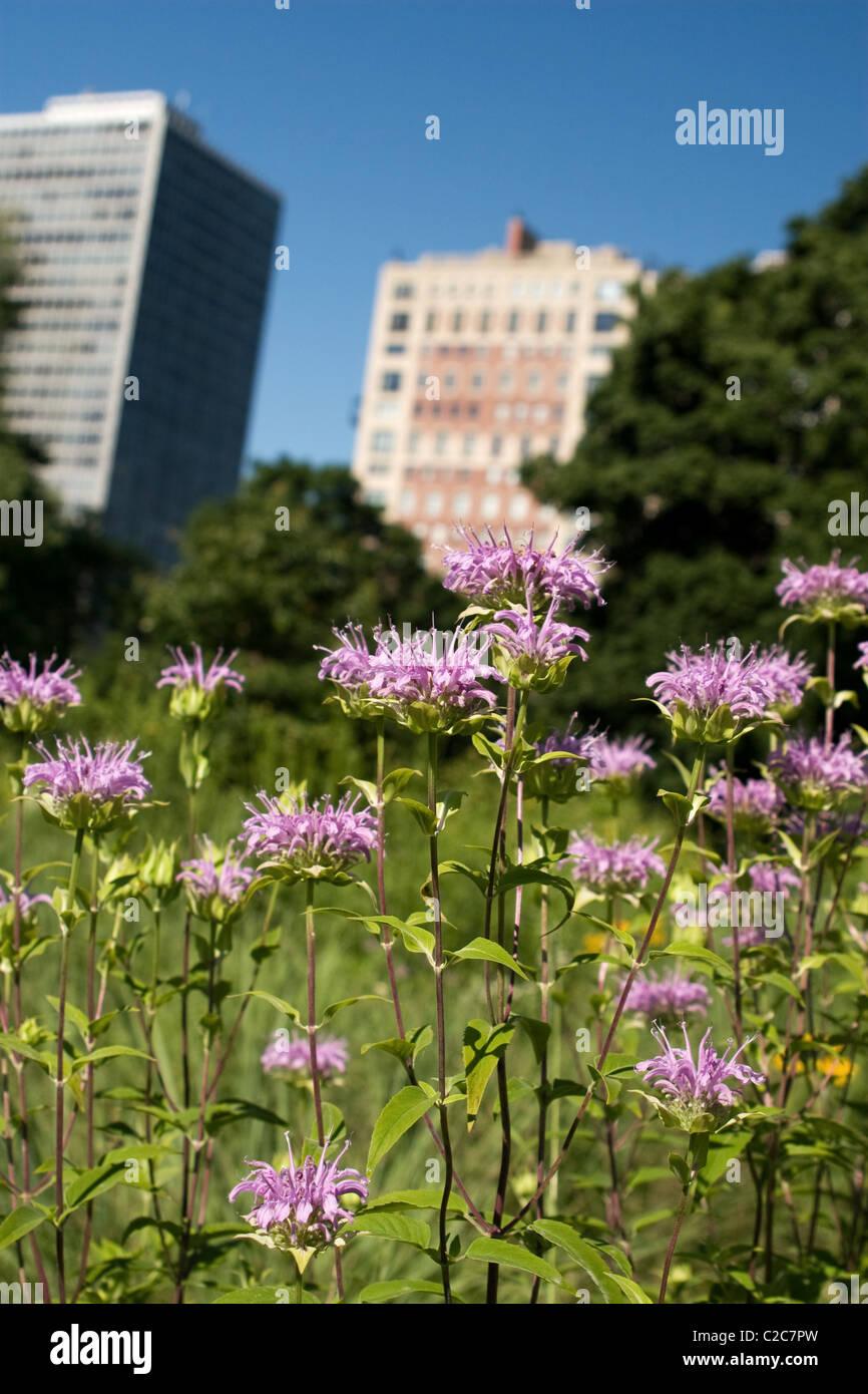 Wild bergamot blooming in an urban setting Lincoln Park - Stock Image