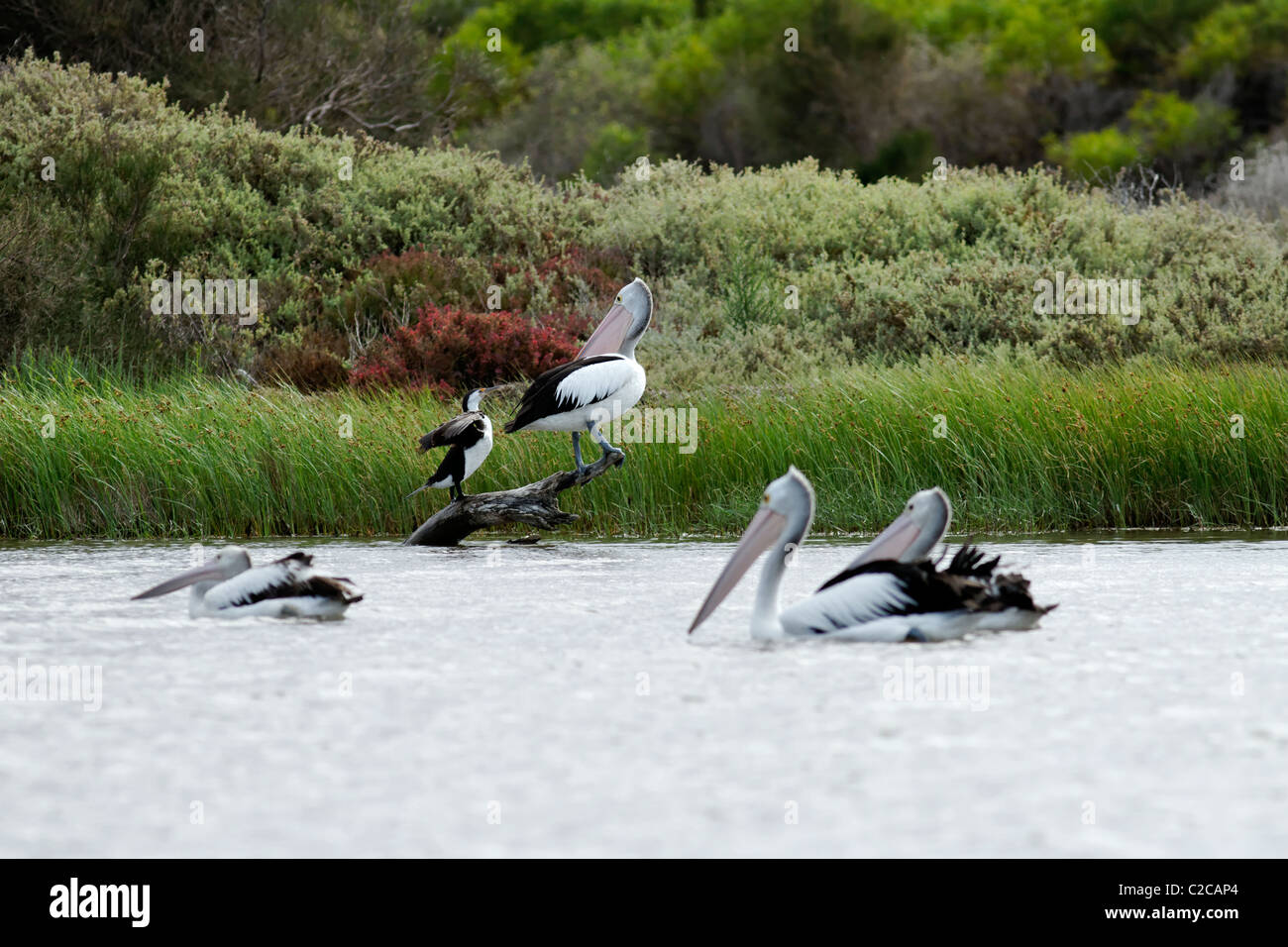 Pink Pelican defending his place from a Pied Cormorant, Irwin River Dongara Western Australia - Stock Image