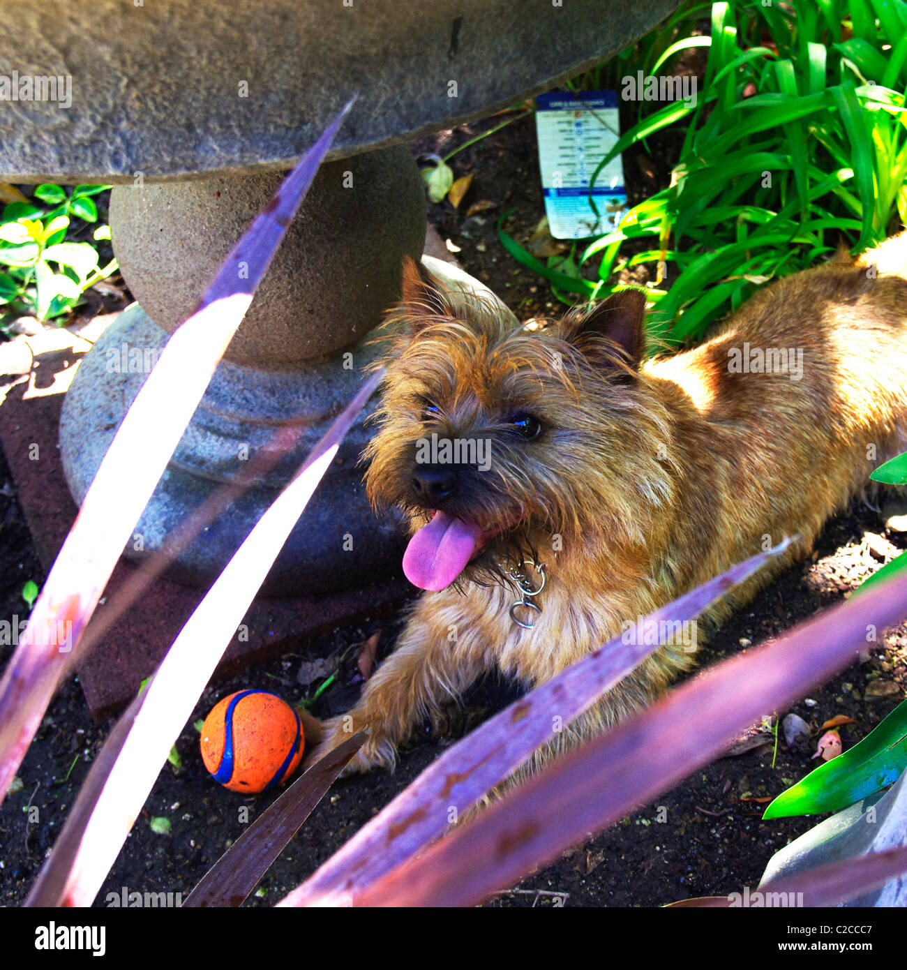 Cool Cairn Terrier Ball Adorable Dog - a-cairn-terrier-puppy-waits-in-the-shade-for-his-ball-to-be-thrown-C2CCC7  Best Photo Reference_4510076  .jpg