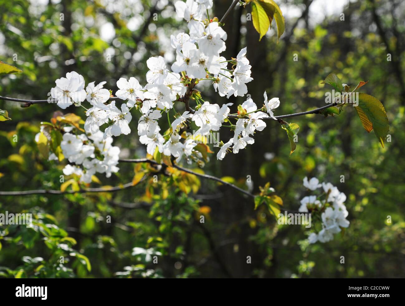 Blossom dappled in spring sunshine - Stock Image