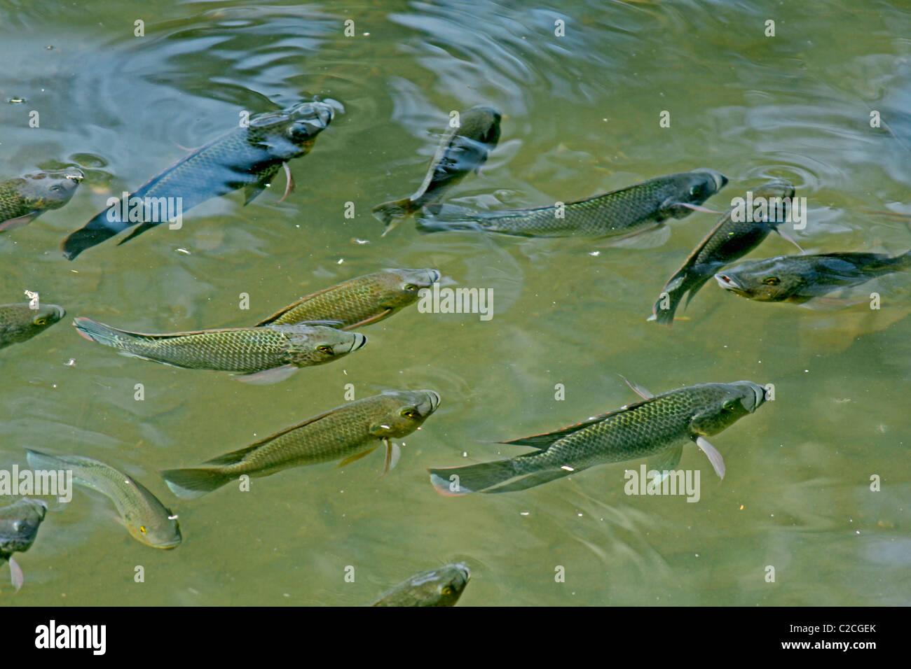 Blue Kurper Mozambique Tilapia Oreochromis Mossambicus Fish In Water Pond Pune Maharashtra