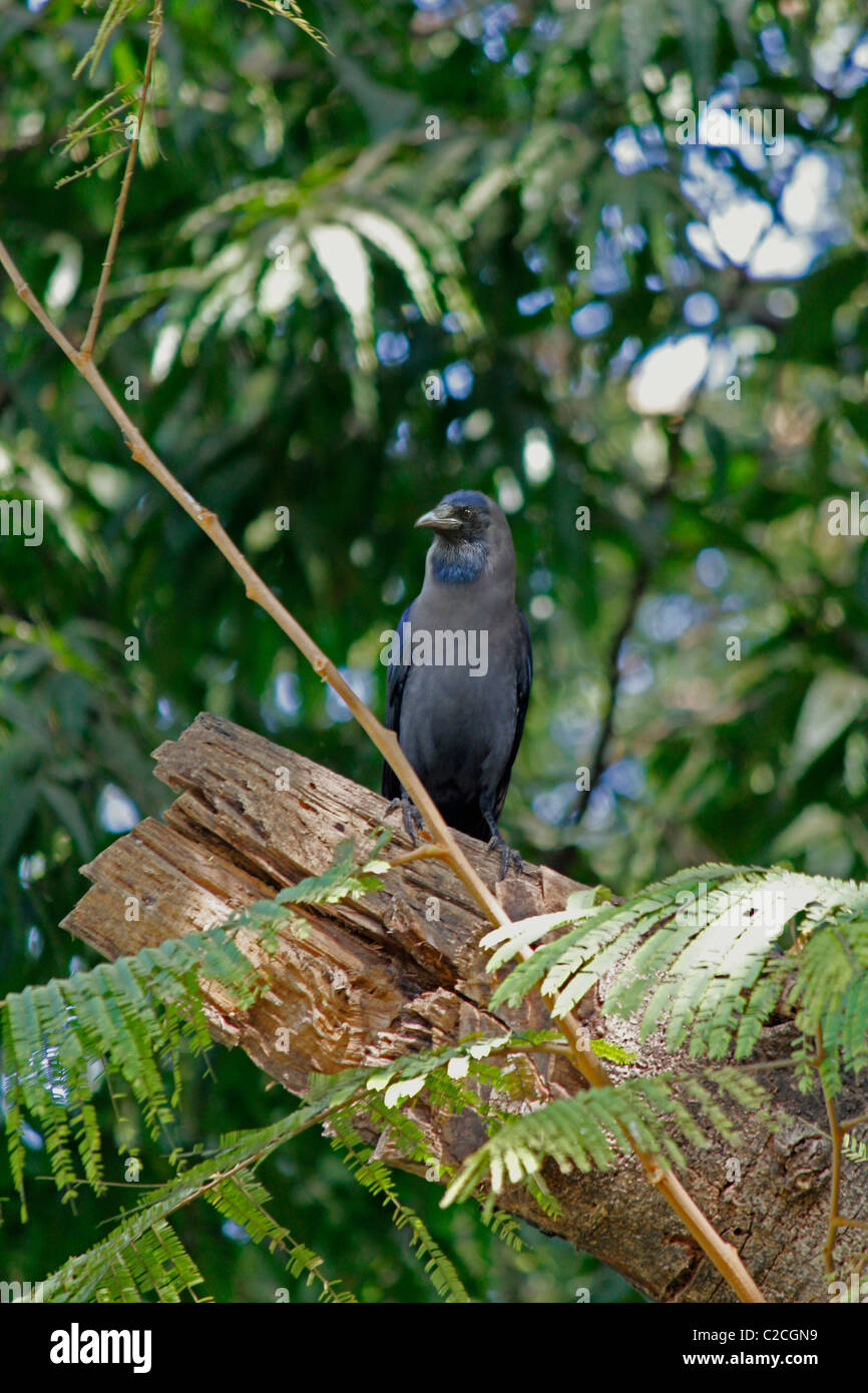 A House crow, Corvus Splendens is seating on a Tree, India Stock Photo