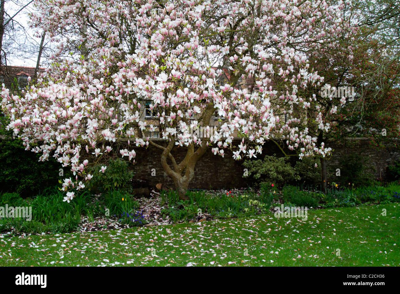 Magnolia Tree In Full Bloom In April Stock Photo 35926890 Alamy