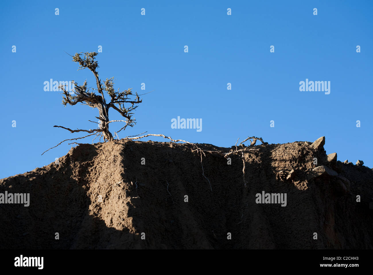 A small plant with exposed roots on the edge of an erosion gully. - Stock Image
