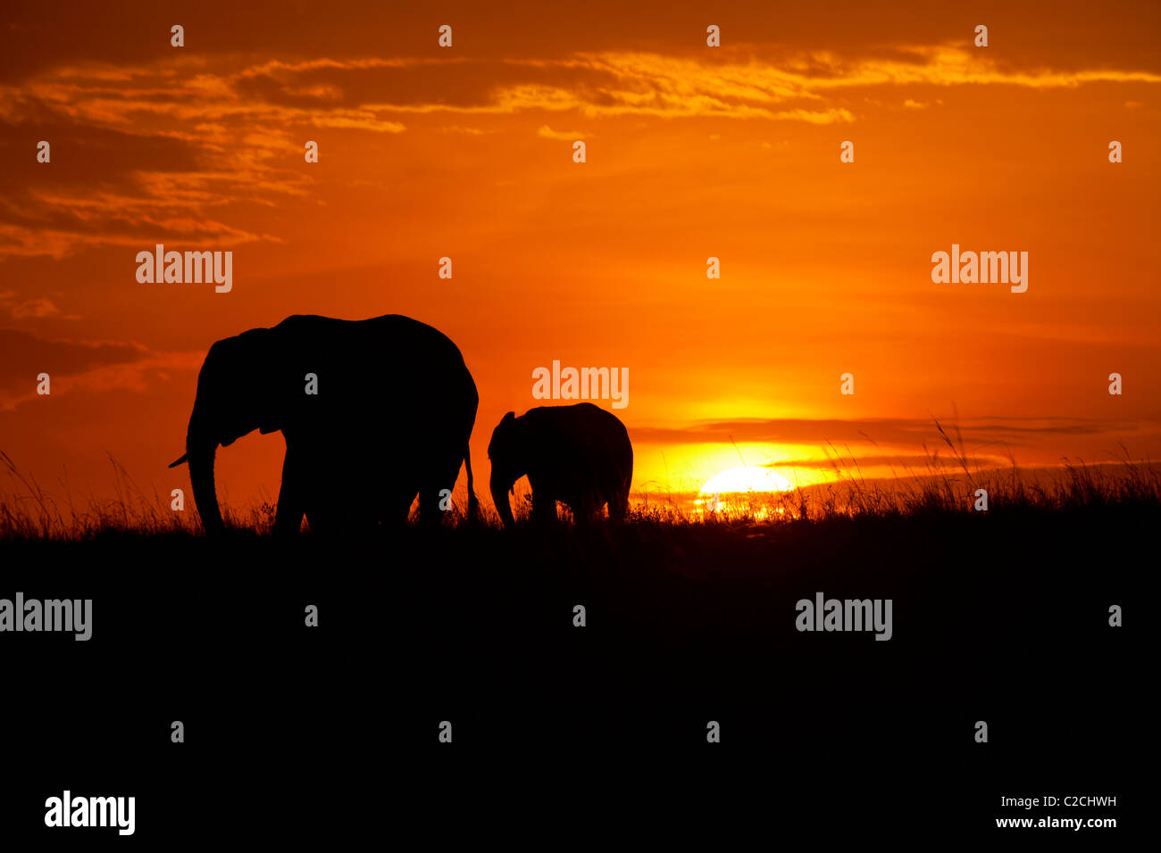 African elephants silhouetted in sunset - Stock Image